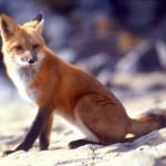 Animal print: a raposa é o animal da vez.