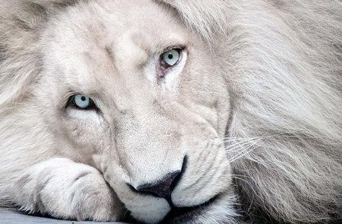 albinismo-leão-albino