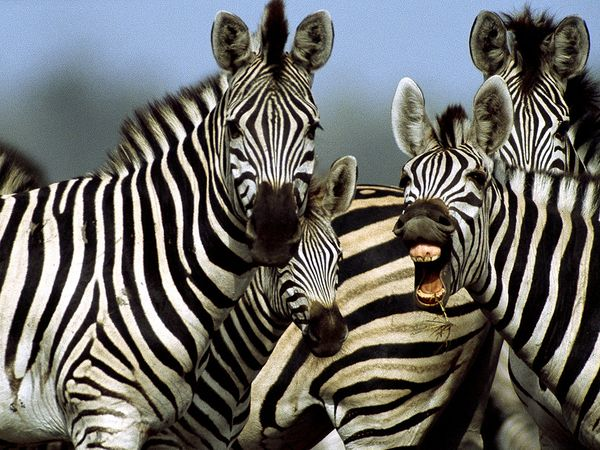animal-print-zebra_764_600x450
