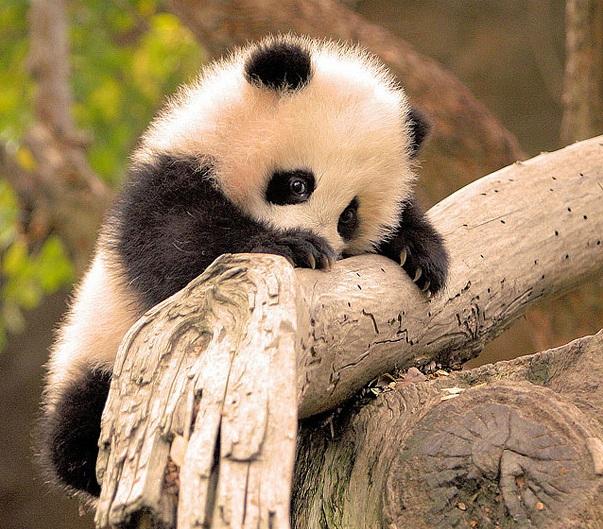 links da semana panda-bebe